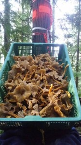The Bounty of the Chanterelle Forest - Basket Chanterelle Mushroom