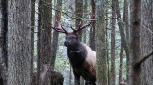 Protector of the Forest - Massive Roosevelt Elk greets us upon one of our visits to the Chanterelle Forest