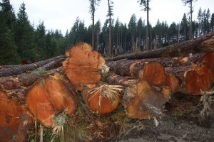 Peninsula Logging began cutting with a feller buncher in early October after a 2 month stand-off with protesters. A dozen people were arrested in peaceful protests. It was a stressful time to know of the destruction that awaited this ecosystem. Clearcut logging is ruthless. Its exactly the same as driftnet fishing, in that its destroys most everything in its path. And, they keep at it in this Province when they should know better. — at 10 mins. above Roberts Creek, BC.